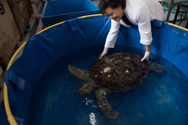 La tortue «Tirelire» a nagé dans une petite... (Photo Roberto Schmidt, AFP)