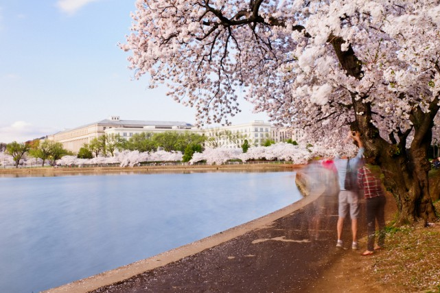 Les cerisiers en fleurs à Washington.... (PHOTO THINKSTOCK)