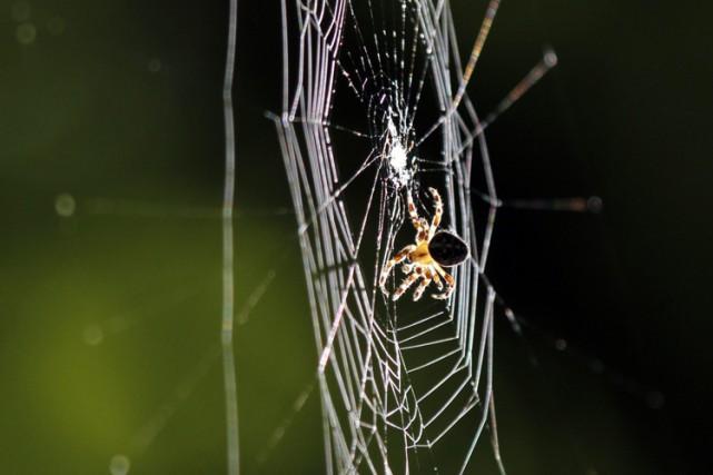 Les araignées consomment dans le monde chaque année entre 400 et 800 millions... (ARCHIVES AP)