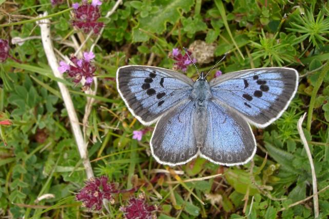 Le Grand bleu(«Maculinea Arion»)est une espèce de papillon... (AFP, BUTTERFLY CONSERVATION - MARTIN WARREN)