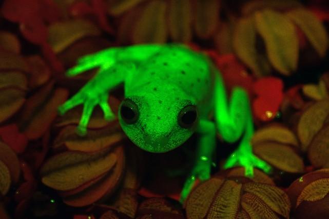 C'est la première grenouille fluorescente observée par la... (PHOTO MACN-CONICET / Taboada FAIVOVICH, AFP)