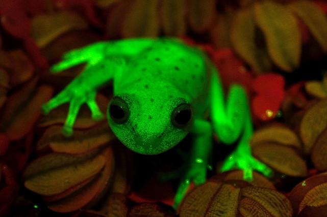 La découverte en Amérique du Sud d'une espèce... (AFP, Taboada Faivovich)