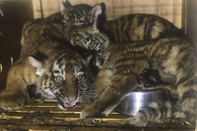 Les trois petits tigres ont été retrouvés dans... (AFP)