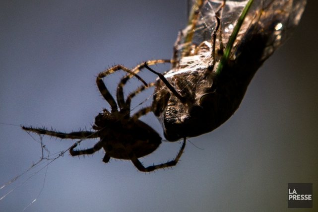 Une protéine quetrouvée dans le venin d'une araignée... (PHOTO MARTIN TREMBLAY, LA PRESSE)