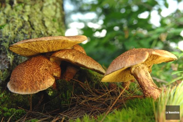 Les champignons forestiers, un marché en émergence.... (Archives Le Nouvelliste)