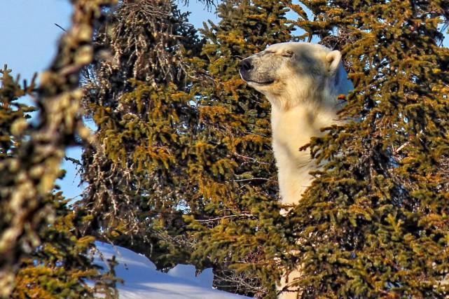 L'ours polaire s'est approché à un demi-kilomètre du... (Pier-Alexandre Defoy)