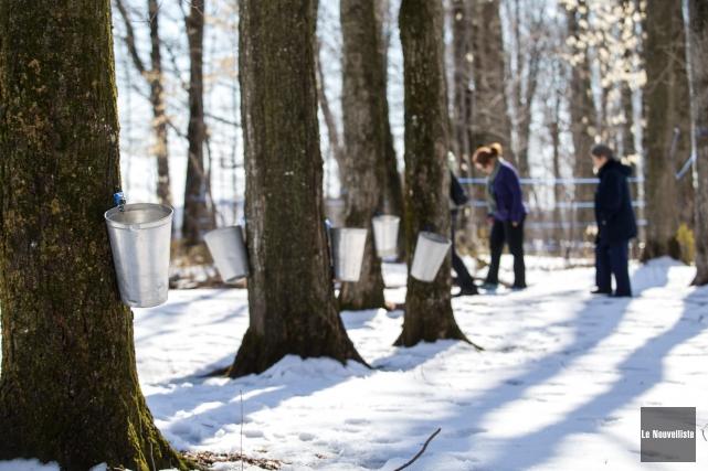 Malgré l'hiver qui s'éternise, les érables coulent.... (Olivier Croteau, Le Nouvelliste)