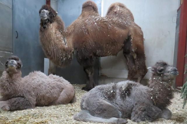 La chamelle Altaï a adopté le nouveau-né de... (Photo courtoisie)