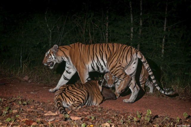 Sur des images prises en pleine jungle tout... (AFP)
