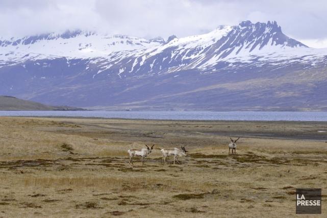 Des rennes dans la région des fjords de... (PHOTO STÉPHANE MORIN, ARCHIVES LA PRESSE)