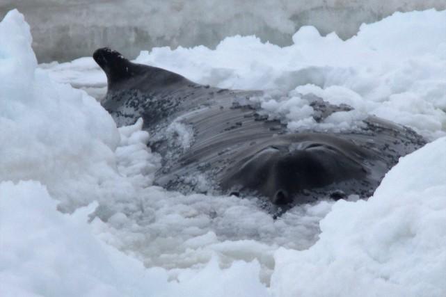 Une baleine à bosse d'environ 14 mètres s'est... (Photo HO-Mary Lou Riggs, La Presse canadienne)