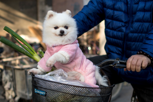Ce petit chien est habillé pour aller faire... (AFP, Johannes EISELE)