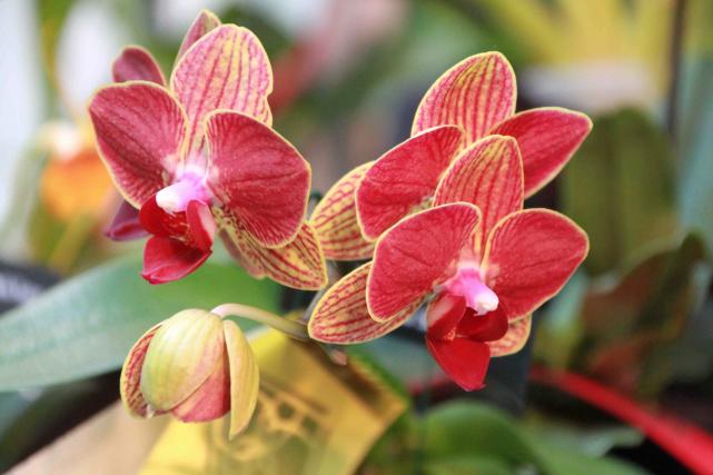 comment faire refleurir une orchid e larry hodgson horticulture. Black Bedroom Furniture Sets. Home Design Ideas