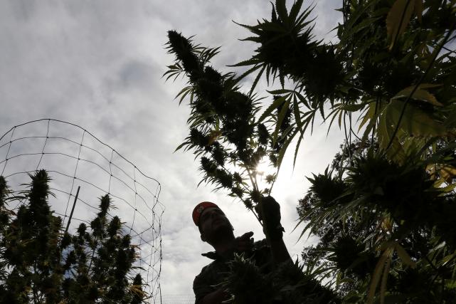 L'Uruguay dispose pour l'instant de 400 kilos de... (AFP, MIGUEL ROJO)