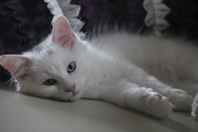 La Tuque espère diminuer le nombre de chats... (Audrey Tremblay)
