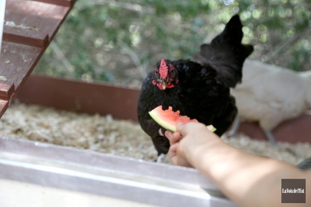 CHRONIQUE / Pas fâché de constater que Granby autorisera bientôt les poules... (Archives La Voix de l'Est)