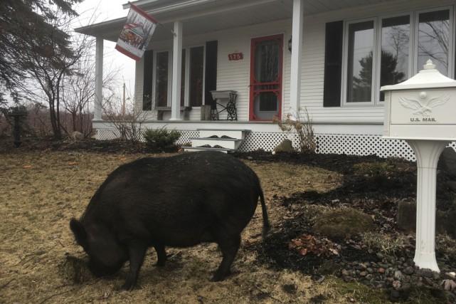 Piggy, un cochon vietnamien, a été abattu par... (Fournie)