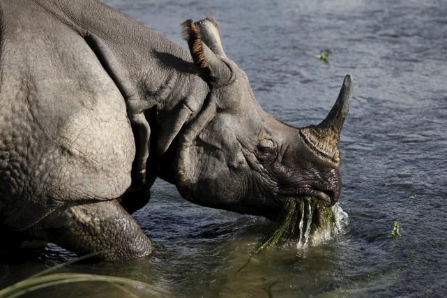 La population de rhinocéros unicornes a drastiquement diminué... (Archives AP, Gemunu Amarasinghe)