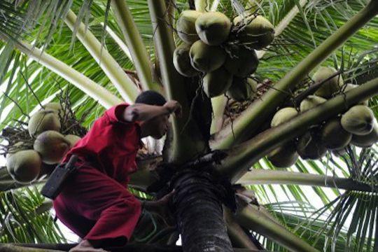 La noix de coco est désormais reconnue par... (AFP)