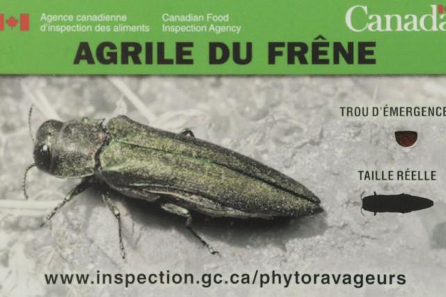 L'agrile du frêne n'a pas encore été observé... (Francois Gervais)