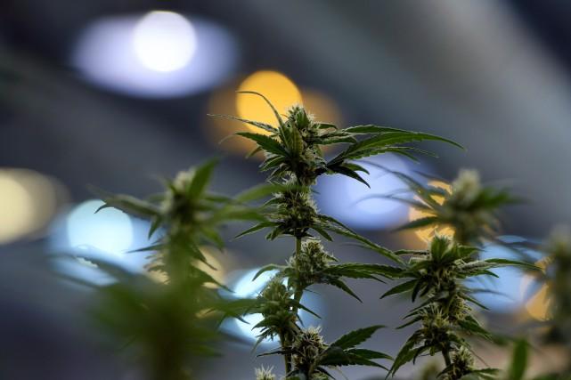 Les producteurs de marijuana, qui tiennent à leur... (Archives, La Presse canadienne)