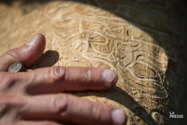 L'agrile du frêne n'a pas encore été aperçu... (Archives La Presse)