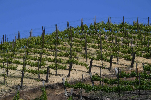 Un vignoble californien près de Malibu.... (PHOTO AFP)