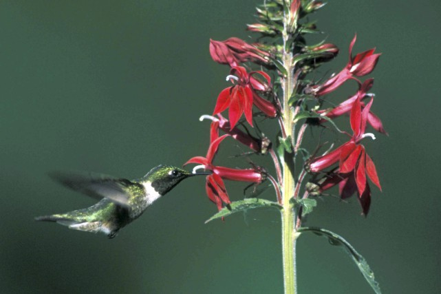 Contrairement à la croyance populaire, le colibri ne...