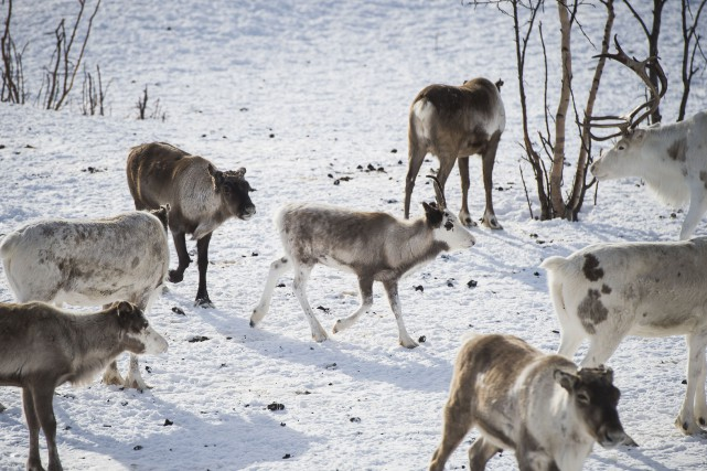 Un troupeau de rennes photographié à Kautokeino, en... (AFP, Jonathan Nackstrand)