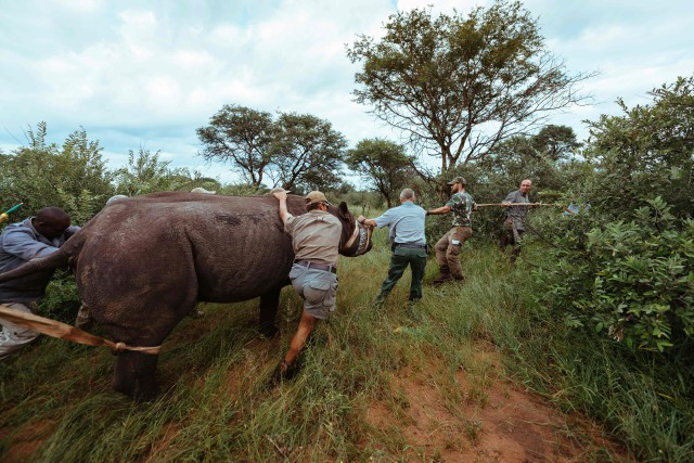 Un rhinocéros noir au Thaba Tholo Game Ranch... (Photo Agence France-Presse)