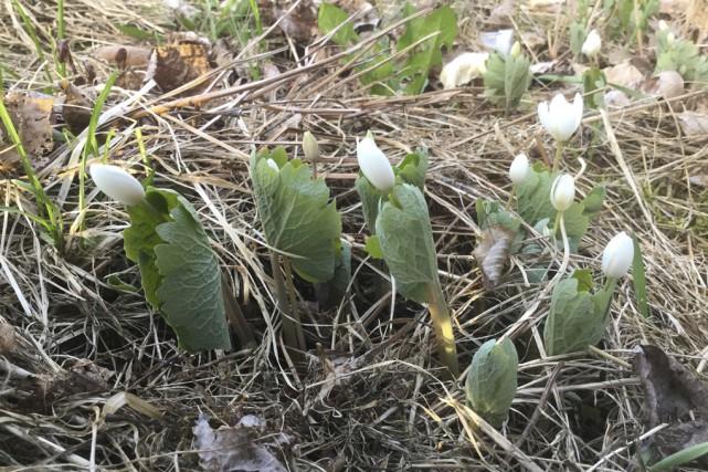 Vers la mi-avril, dans les clairières et sur le bord des sentiers forestiers... (photo fournie)