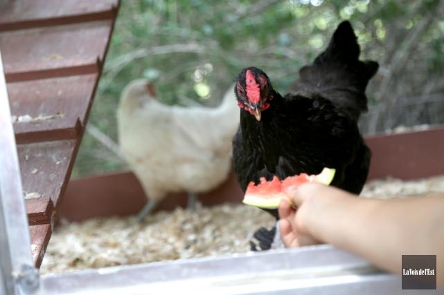 Le projet-pilote pour la garde de poules urbaines... (archives La Voix de l'Est)