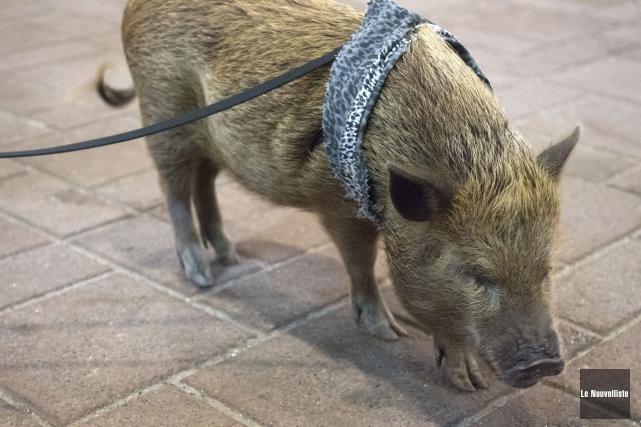 On aperçoit ici Bacon, le microcochon de Catherine... (Stéphane Lessard, Le Nouvelliste)