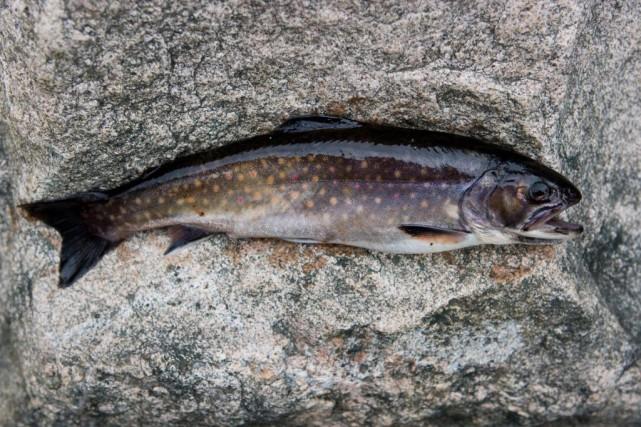 Faire cuire sa truite fraîchement pêchée dans une... (Photo Armand Trottier, ARCHIVES La Presse)