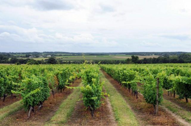 La Loire est le troisième vignoble de France,... (PhotoJEAN-FRANÇOIS MONIER, Archives Agence France-Presse)