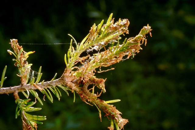Présentement, des épidémies sont observées au Nouveau-Brunswick et... (Photo fournie par le Ministère des Forêts, de la Faune et des Parcs)