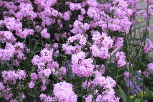 La lychnide 'Petite Jenny' (Lychnis flos-cuculis 'Petite Jenny'),... (www.jardinierparesseux.com)