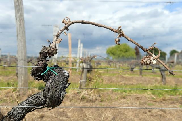 Le gel a grillé les fragiles pousses vertes... (AFP, Nicolas Tucat)