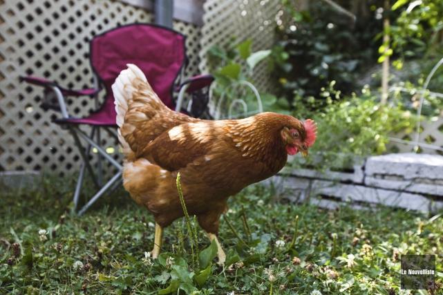 Les poules urbaines seront bientôt autorisées à La... (Olivier Croteau, Le Nouvelliste)
