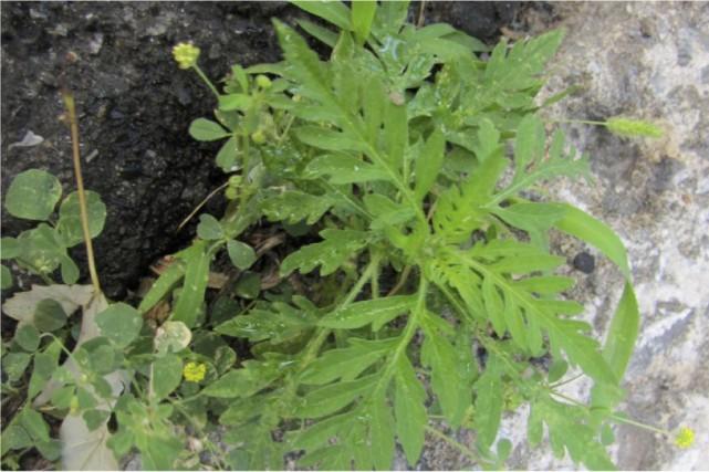 L'herbe à poux est responsable du fameux rhume... (fournie par la Ville de Québec)
