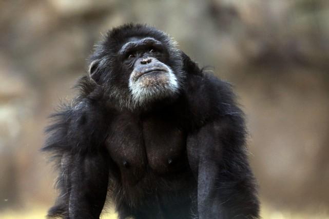Les chimpanzés sont les cousins vivants les plus... (ARCHIVES AP)