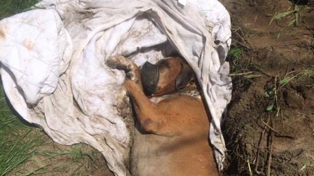 Le chien en piteux état a été réanimé... (Photo tirée de la page Facebook de la SPCA de la Montérégie)