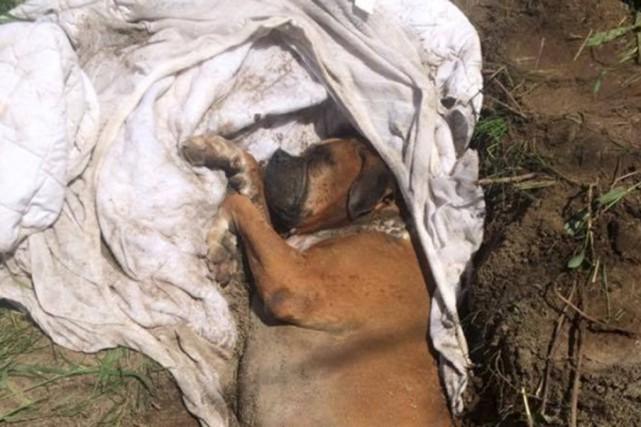 Le chien en piteux état a été réanimé... (tirée de la page Facebook de la SPCA de la Montérégie)