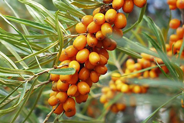 Les fruits de l'argousier sont riches en antioxydants.... (Terra-Boréal)