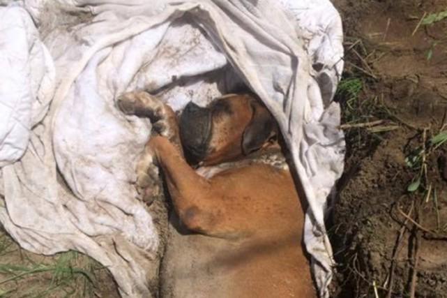 Le chien de race boxer avait été enroulé... (Tirée de la page Facebook de la SPCA de la Montérégie)
