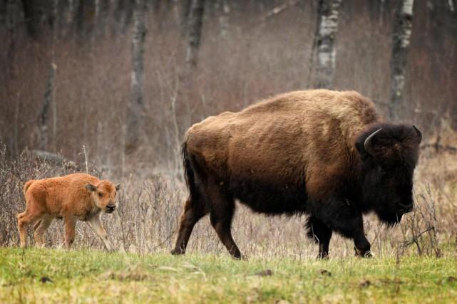 Un bison et son rejeton dans le parc... (PHOTO BERNARD BRAULT, LA PRESSE)