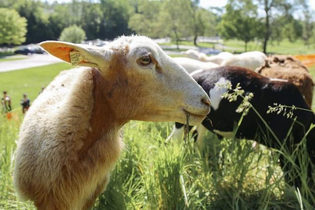 Un programme informatique permettant de déterminer si les moutons souffrent ou... (Photo archives AP)