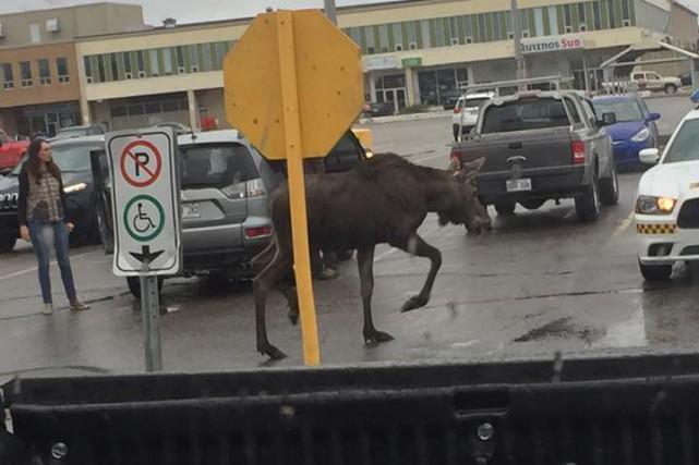 Un orignal se promène dans un stationnement du... (tirée de Facebook)
