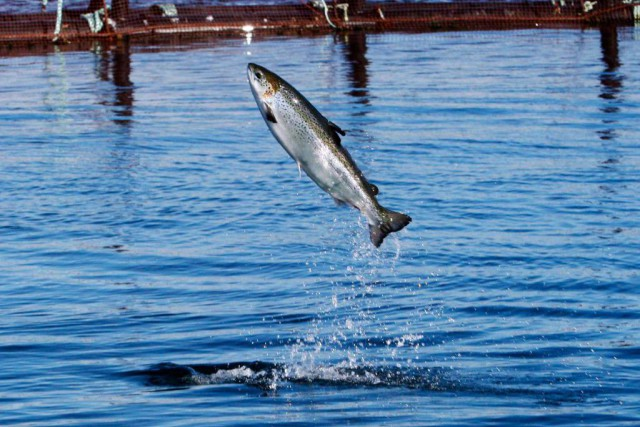 La pêche sportive du grand saumon est interdite... (PHOTO ROBERT F. BUKATY, ARCHIVES LAPRESSE CANADIENNE)