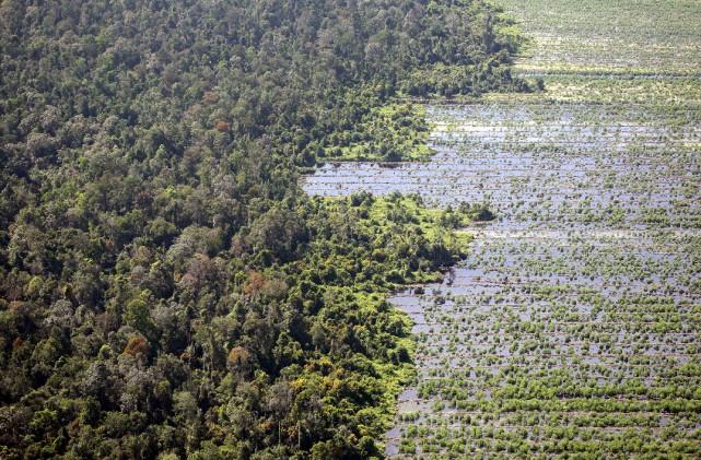Une fois déboisées et drainées, les tourbières boisées... (ARCHIVES AFP)